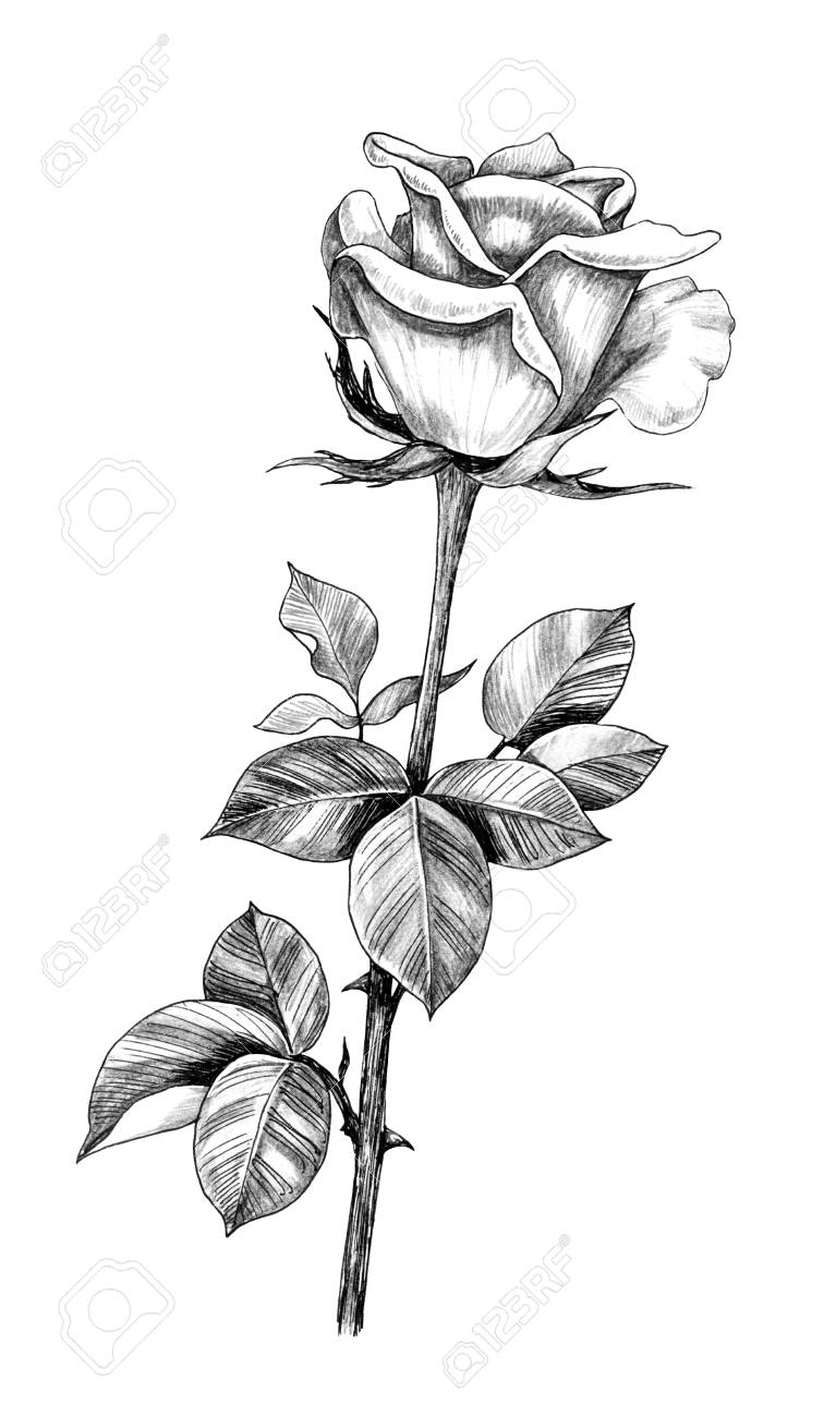 Hand Drawn Rose Bud On Stem With Leaves Isolated On White Background Stock Photo Picture And Royalty Free Image Image 118980125