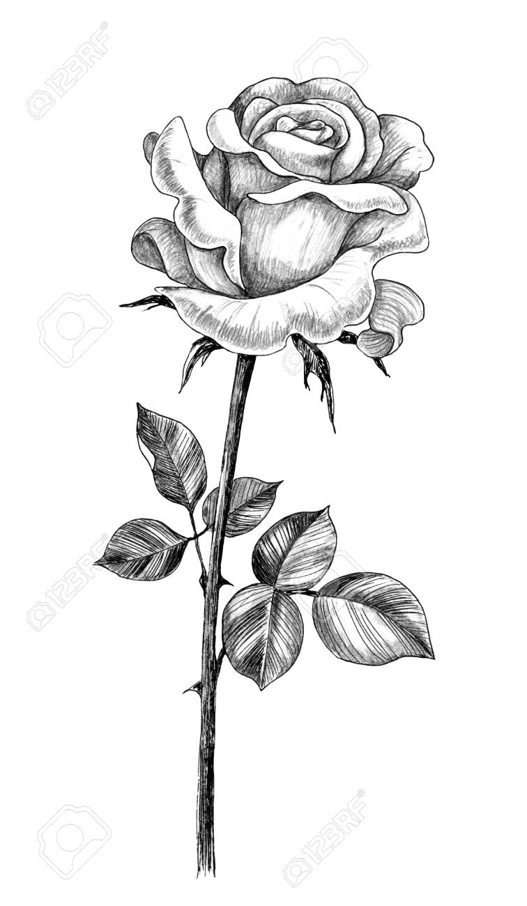 Hand Drawn Rose Flower Bud With Leaves Isolated On White Background Stock Photo Picture And Royalty Free Image Image 118980135