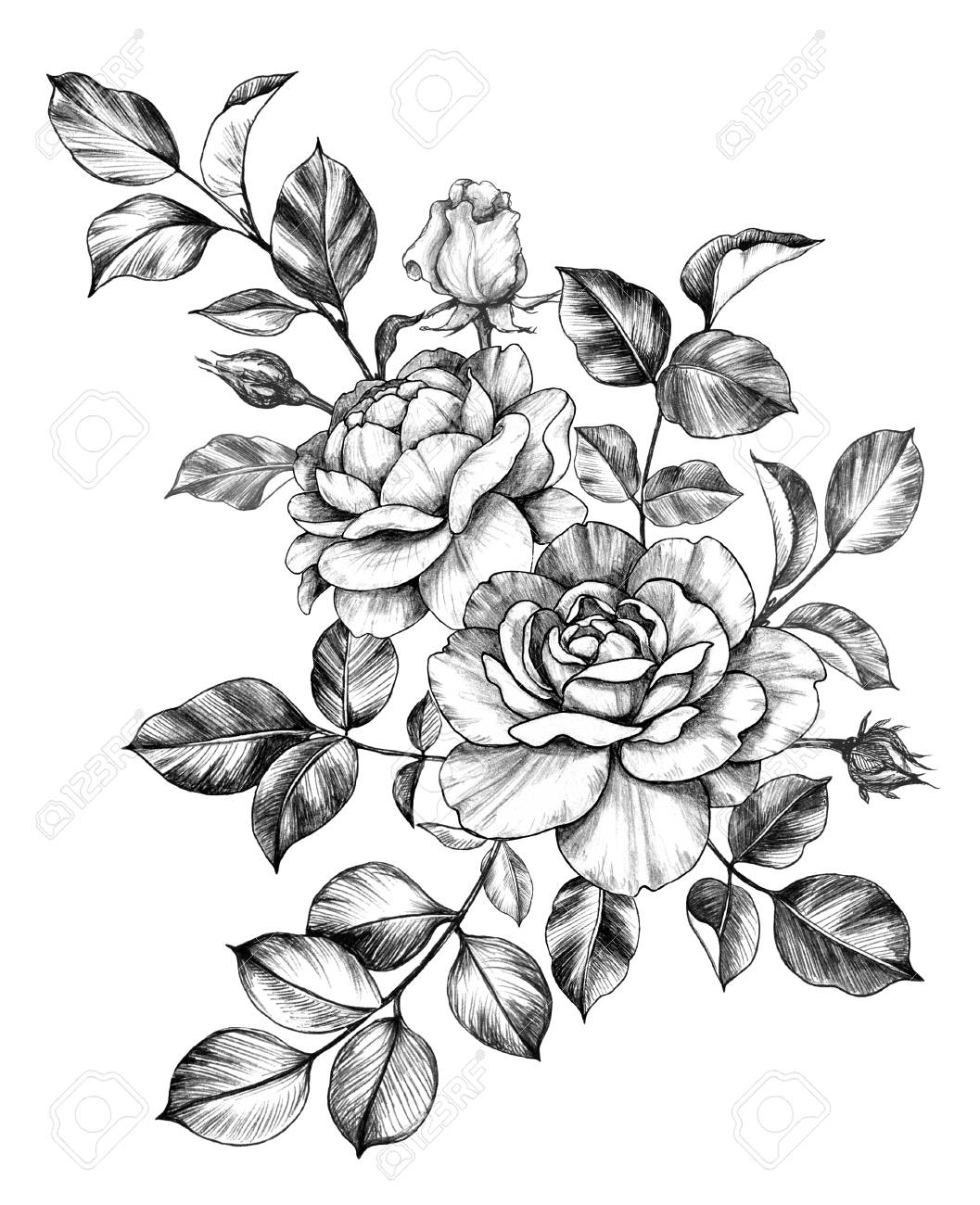 Hand Drawn Bunch With Rose Flower Buds And Leaves Isolated On Stock Photo Picture And Royalty Free Image Image 118980141