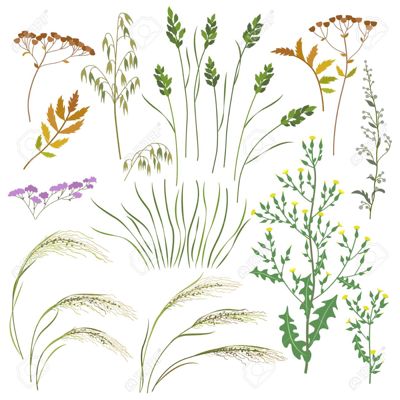 Set of wild grasses, herbs and cereals isolated on white background