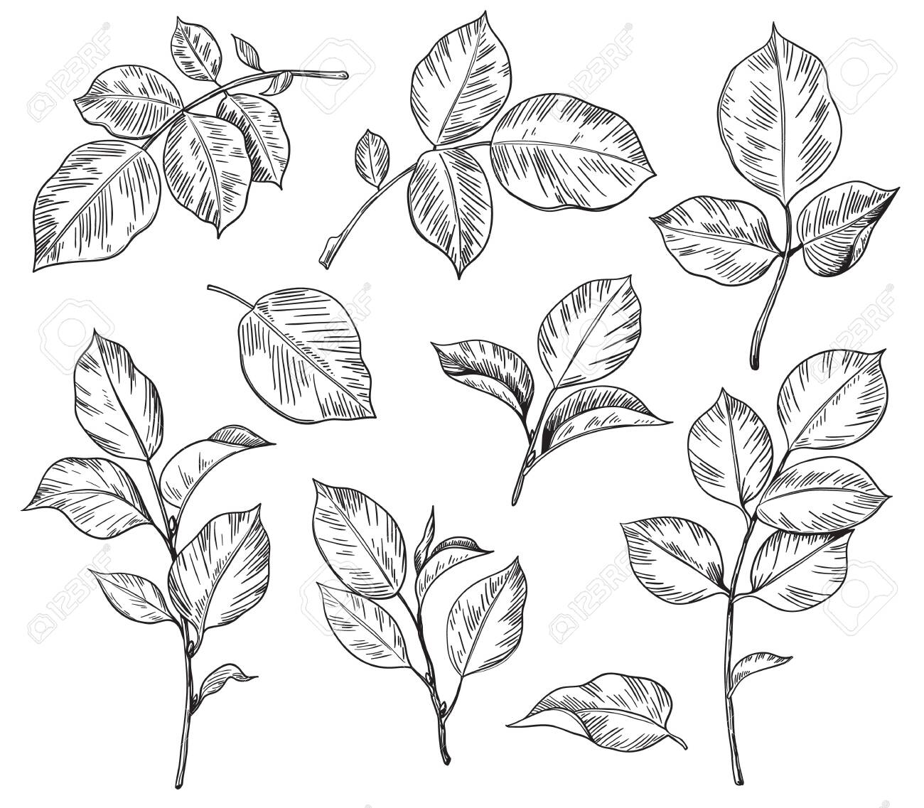 Hand drawn set of rose leaves isolated on white background. Monochrome floral elements, plant parts vector sketch. - 142944220