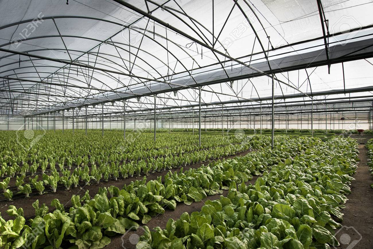 Chard Cultivation In A Greenhouse In The Town Of Villa Del Prado