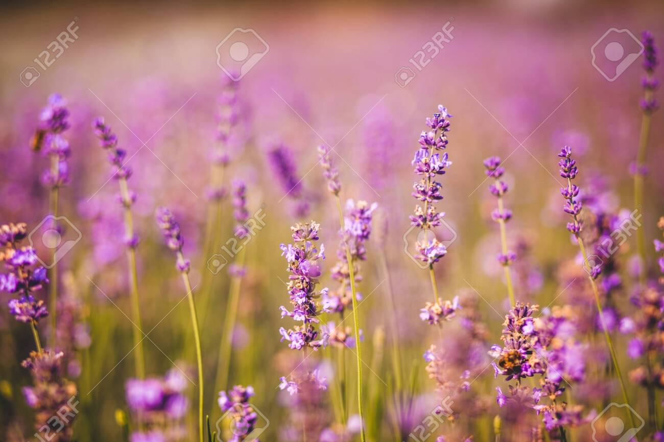 field of purple colored lavender angustifolia plant in summer afternoon - 139548716