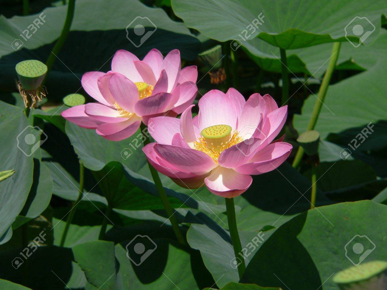 two lotuses stock photo, picture and royalty free image. image, Beautiful flower
