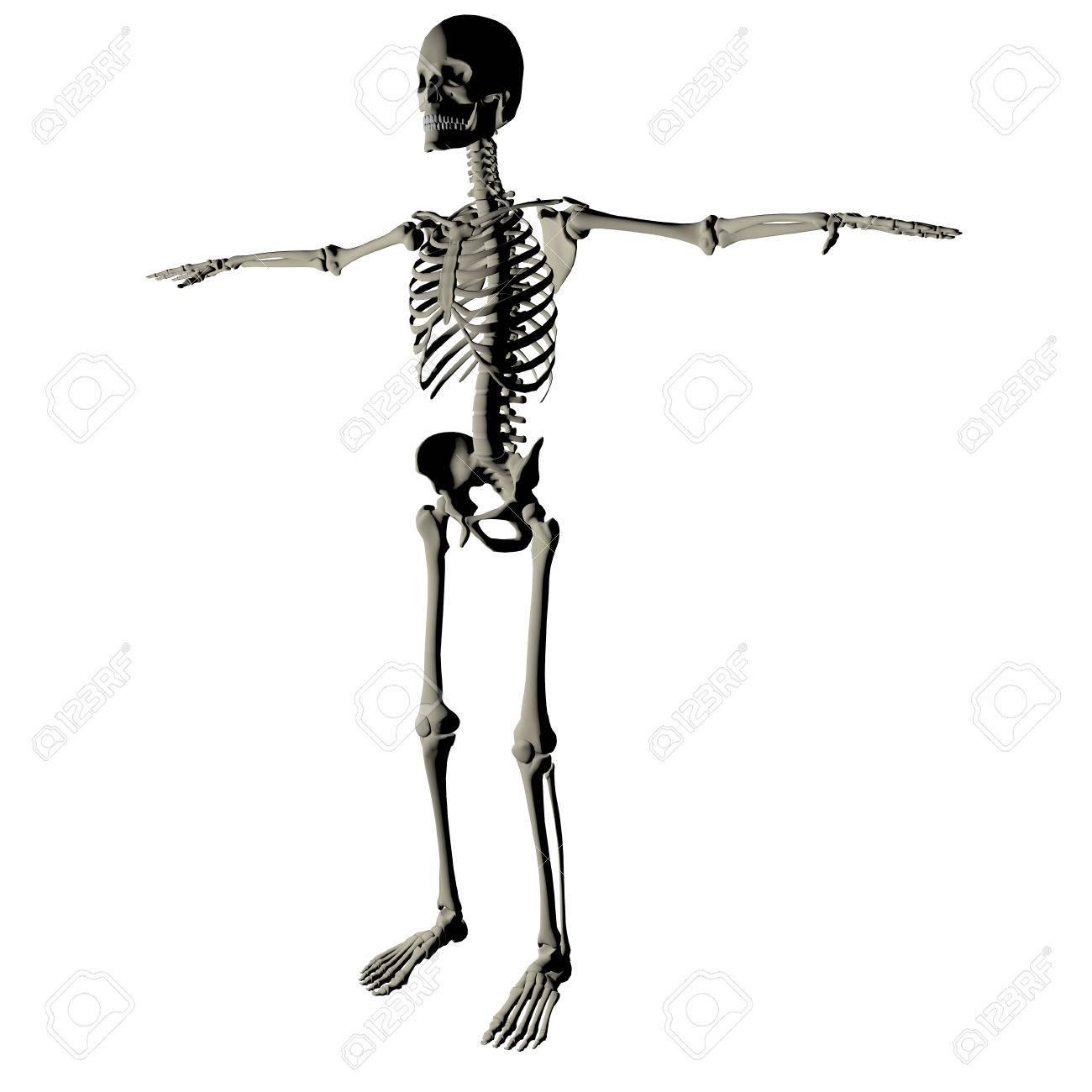 Skeleton Und Knochen Eines Menschlichen Körpers Auf Einem Weißen ...