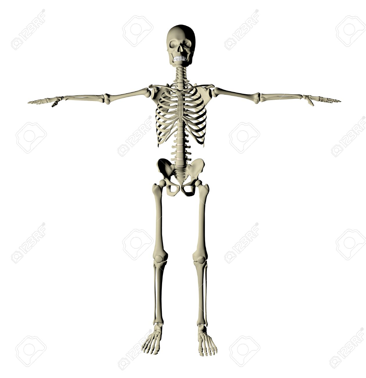 Skeleton And Bones Of A Human Body On A White Background Stock Photo
