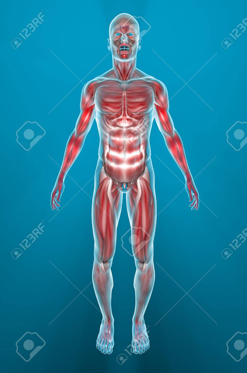 Man Muscles Anatomy Stock Photo, Picture And Royalty Free Image ...