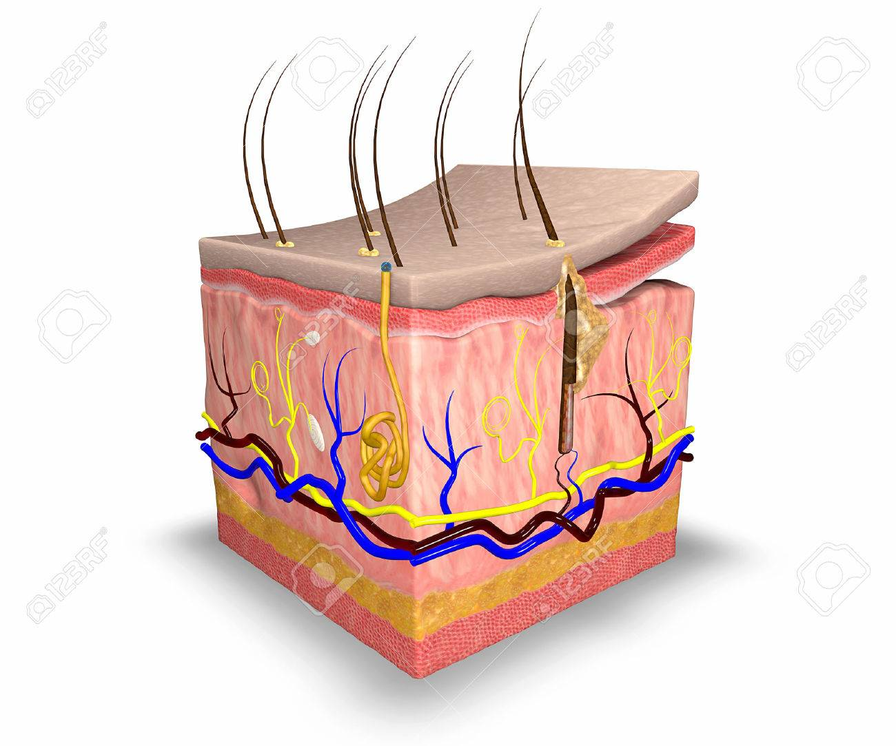 Skin layers stock photo picture and royalty free image image skin layers stock photo 23791417 pooptronica Image collections