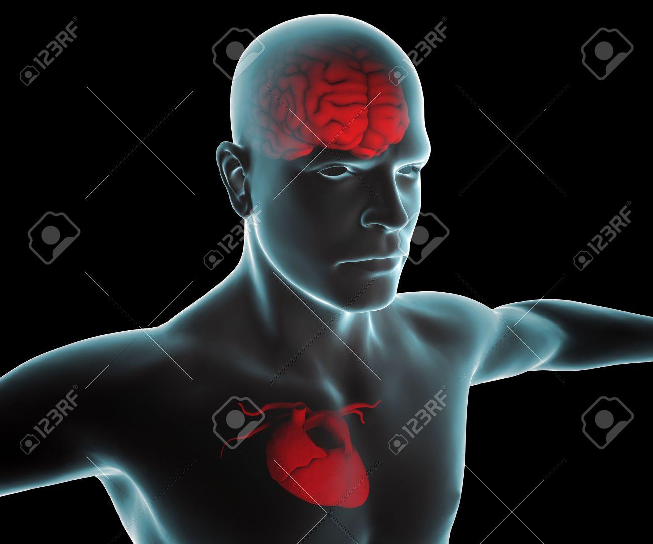 Cuerpo Humano Con El Corazón Y El Cerebro De Rayos X Fotos, Retratos ...