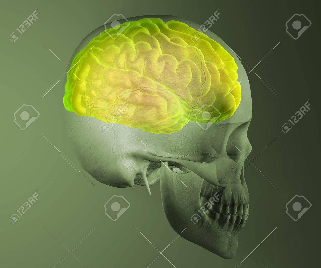 Gehirn-Schädel X-ray-Kopf-Anatomie Lizenzfreie Fotos, Bilder Und ...