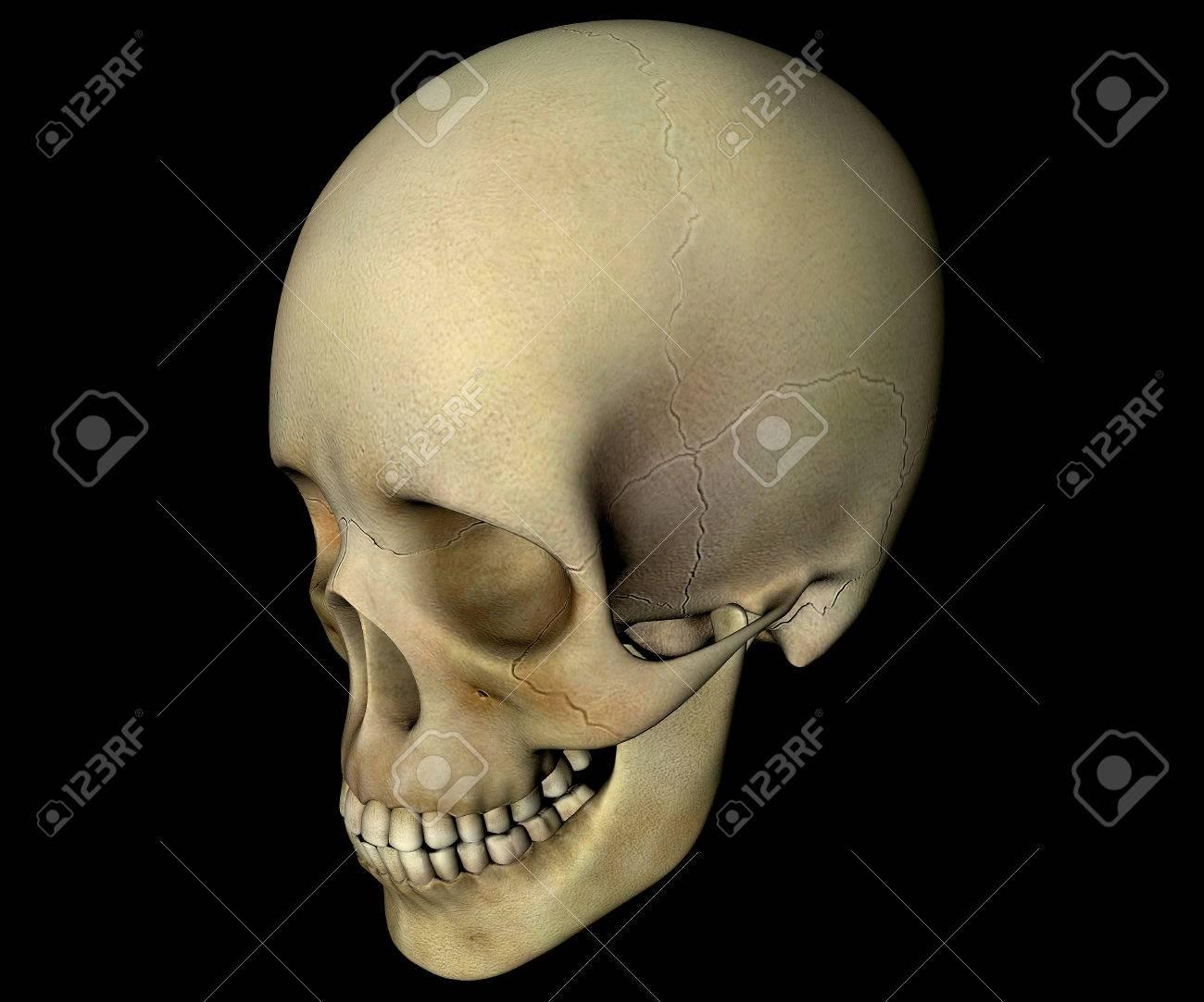 Cráneo Perfil De La Cabeza De Anatomía Fotos, Retratos, Imágenes Y ...