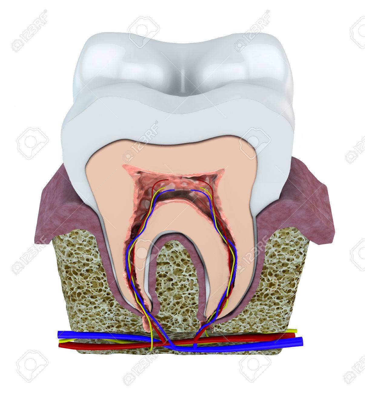 Abschnitt Einen Zahn, Zahnfleisch Und Blutgefäße 3D-Ansicht Eines ...