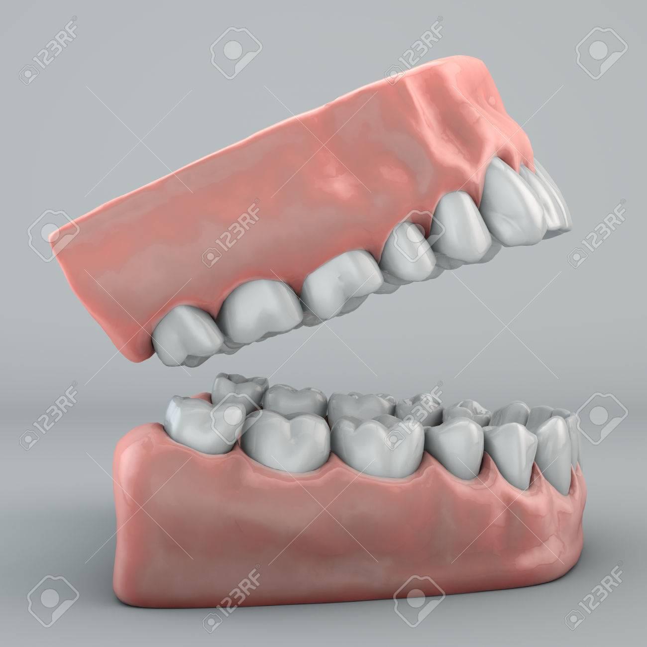 Fein Anatomie Der Zähne Und Des Zahnfleischs Zeitgenössisch ...