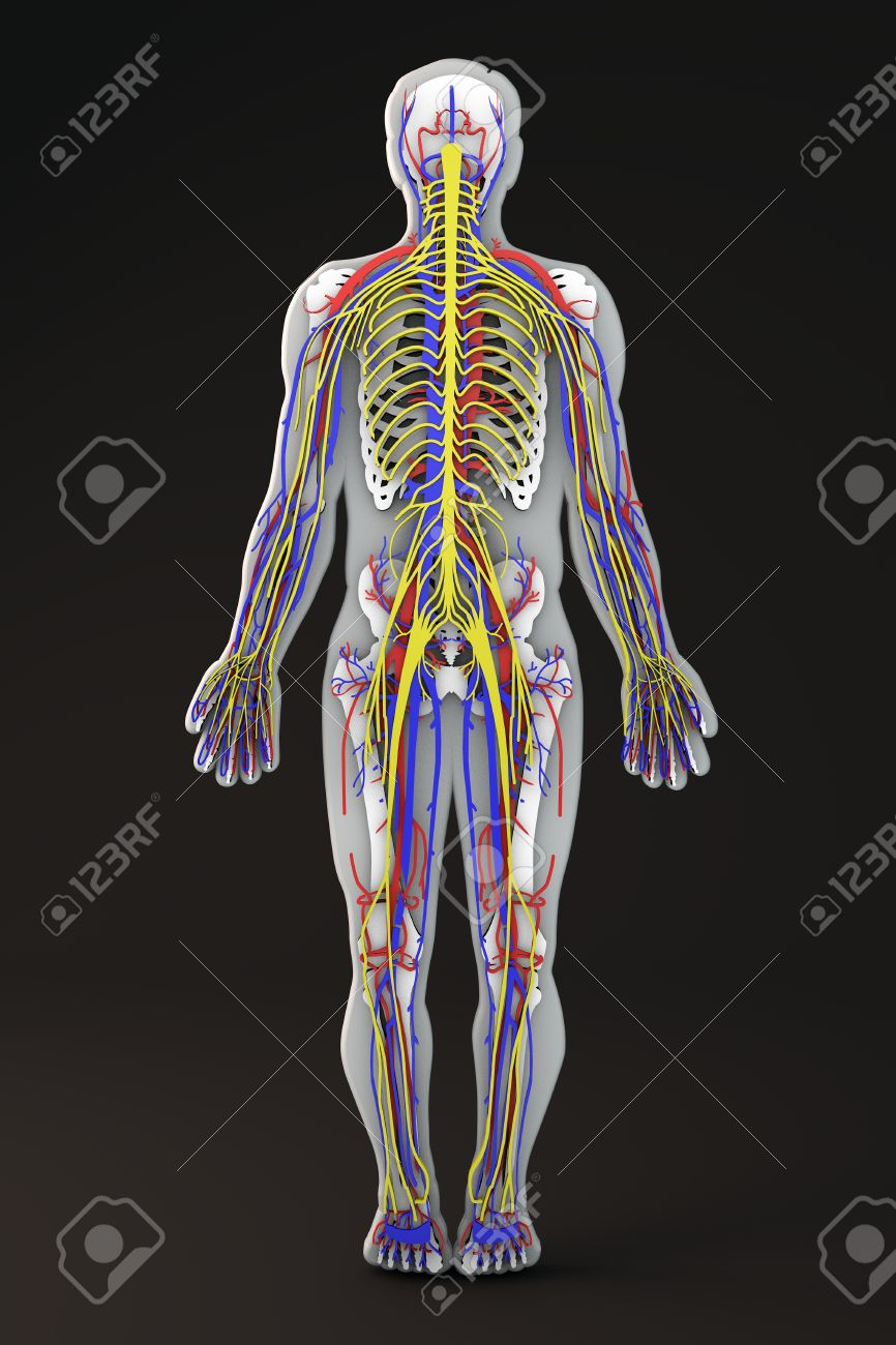 Human Body Skeleton Section Circulatory And Nervous System Stock
