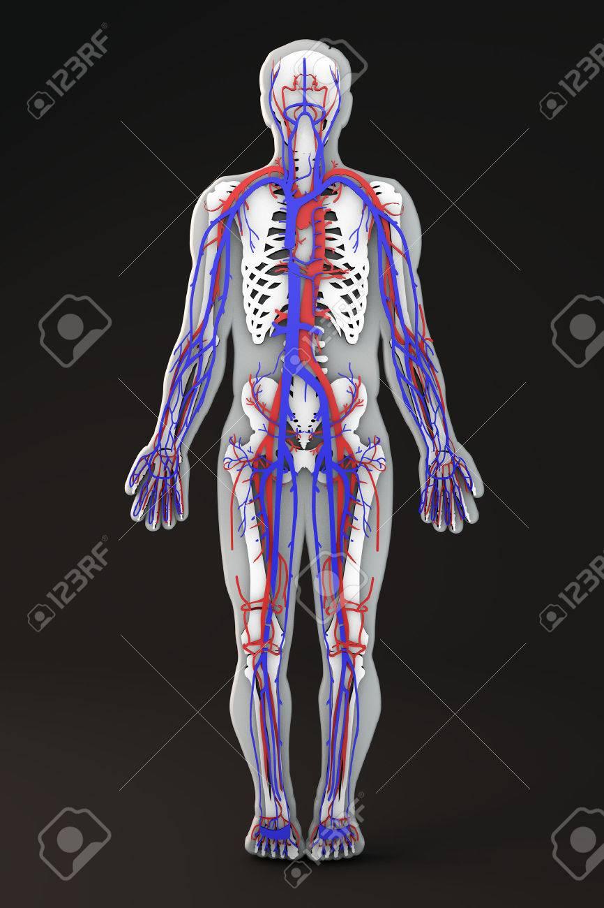 Großzügig Menschlicher Körper Knochentabelle Bilder - Menschliche ...