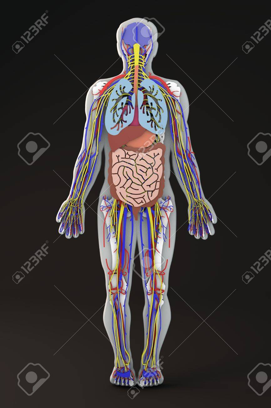 El Cuerpo Humano, Sección De Los órganos Internos Fotos, Retratos ...