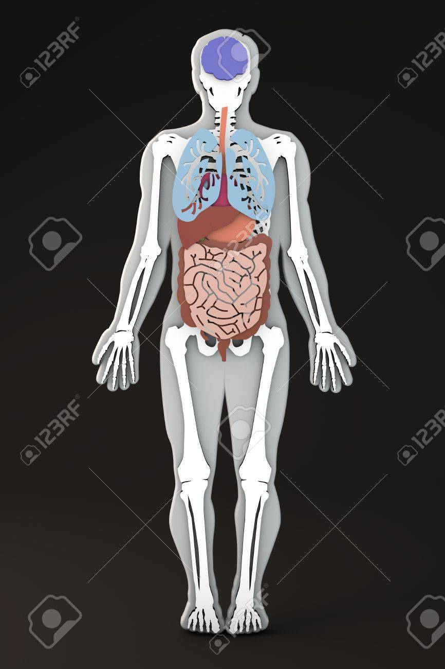 The Human Body Internal Organs Section Stock Photo Picture And