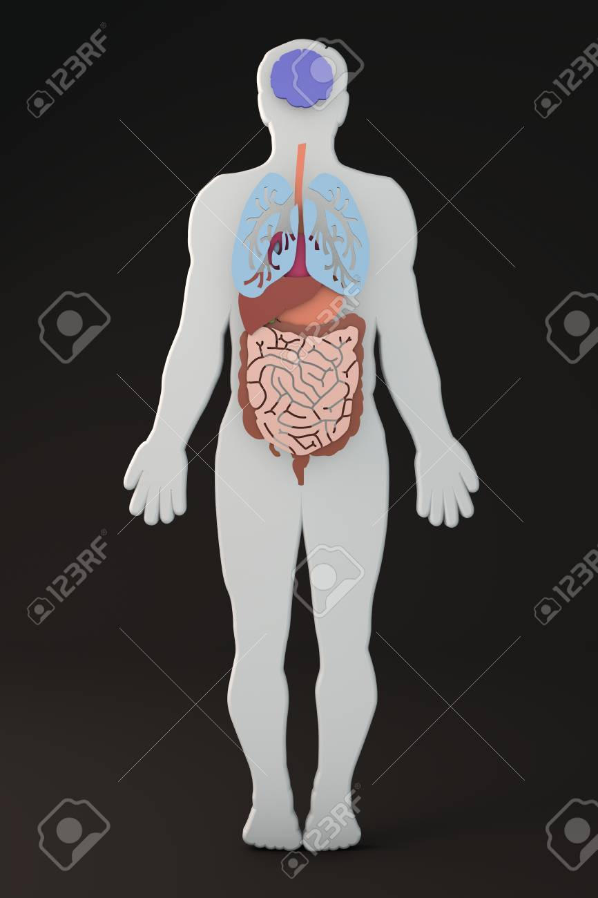The Human Body, Internal Organs Section Stock Photo, Picture And ...