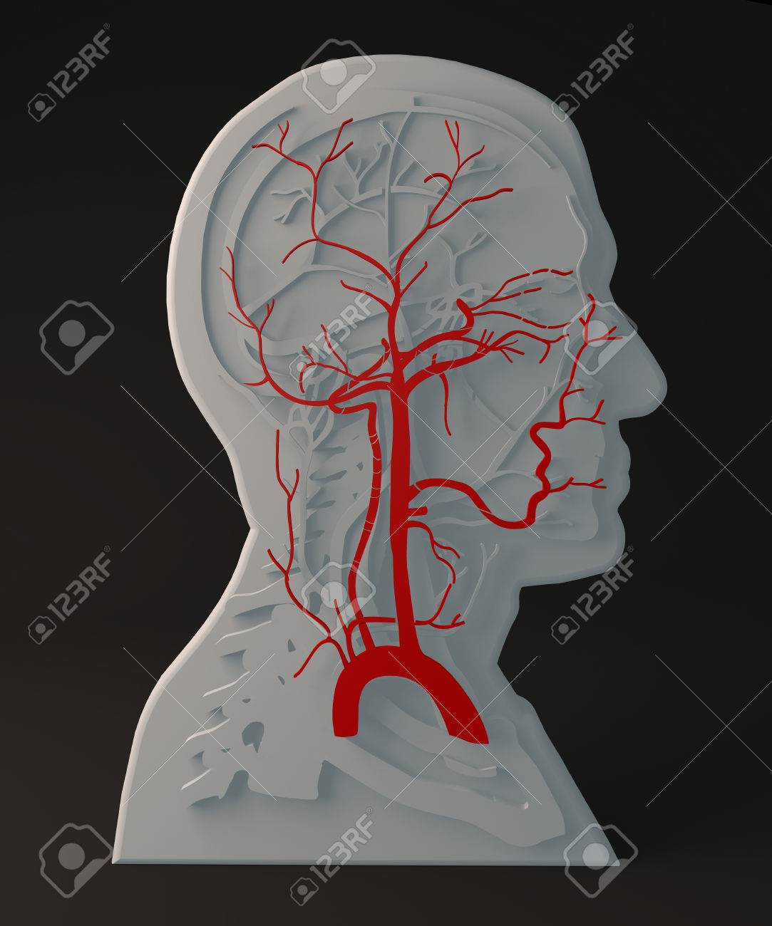 Facial Artery Circulatory System, Section Head Stock Photo, Picture ...