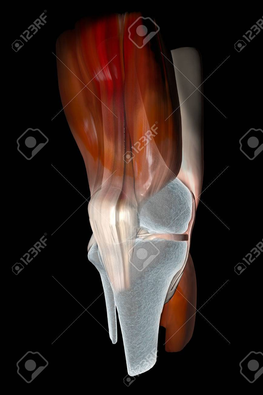 Knee Ligaments, Tendons, Bones, Muscles X-ray Stock Photo, Picture ...