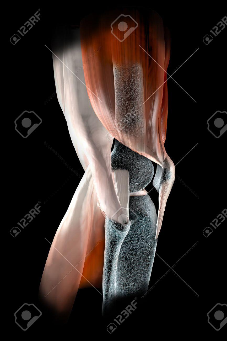 Ligamentos De La Rodilla, Tendones, Huesos, Radiografía Músculos ...