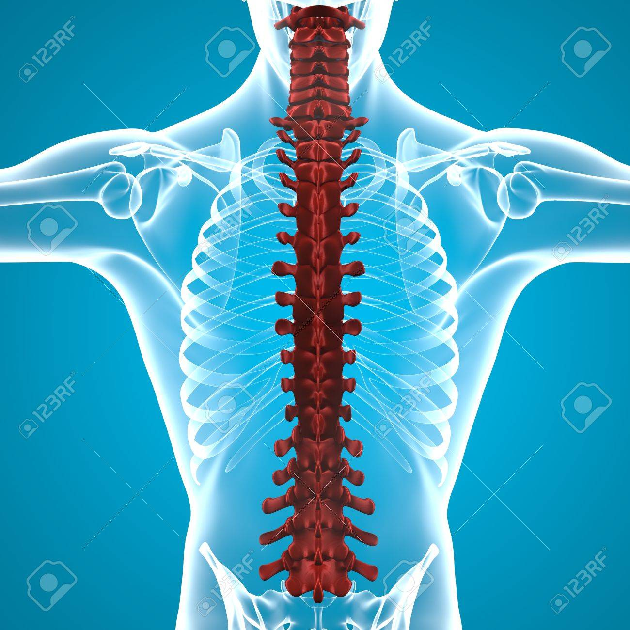 Human Body Spine Anatomy Stock Photo, Picture And Royalty Free Image ...