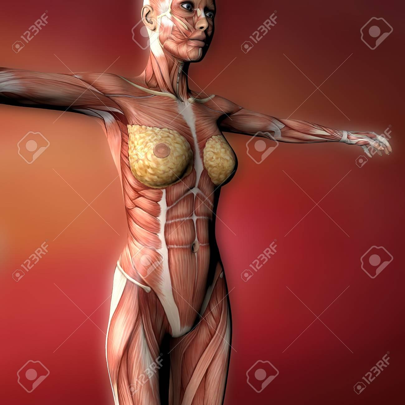 Weibliche Menschlichen Körper Anatomie Muskeln Und Organe ...