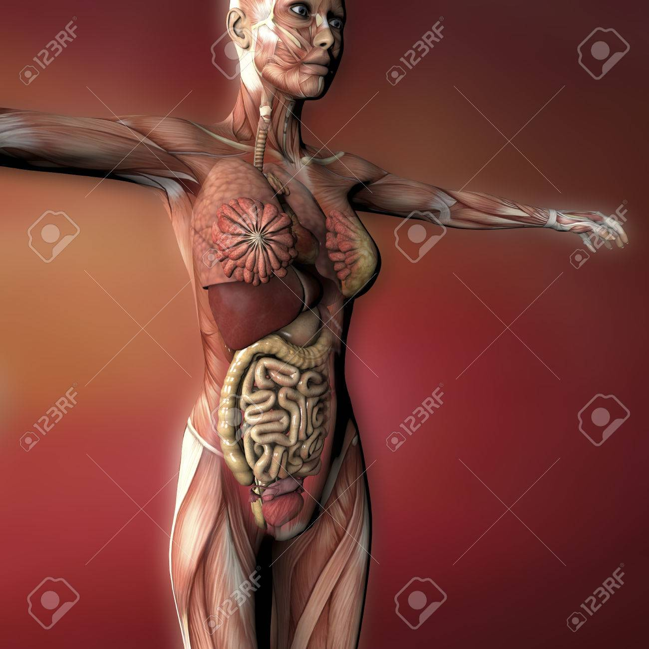 Female human body anatomy muscles and organs