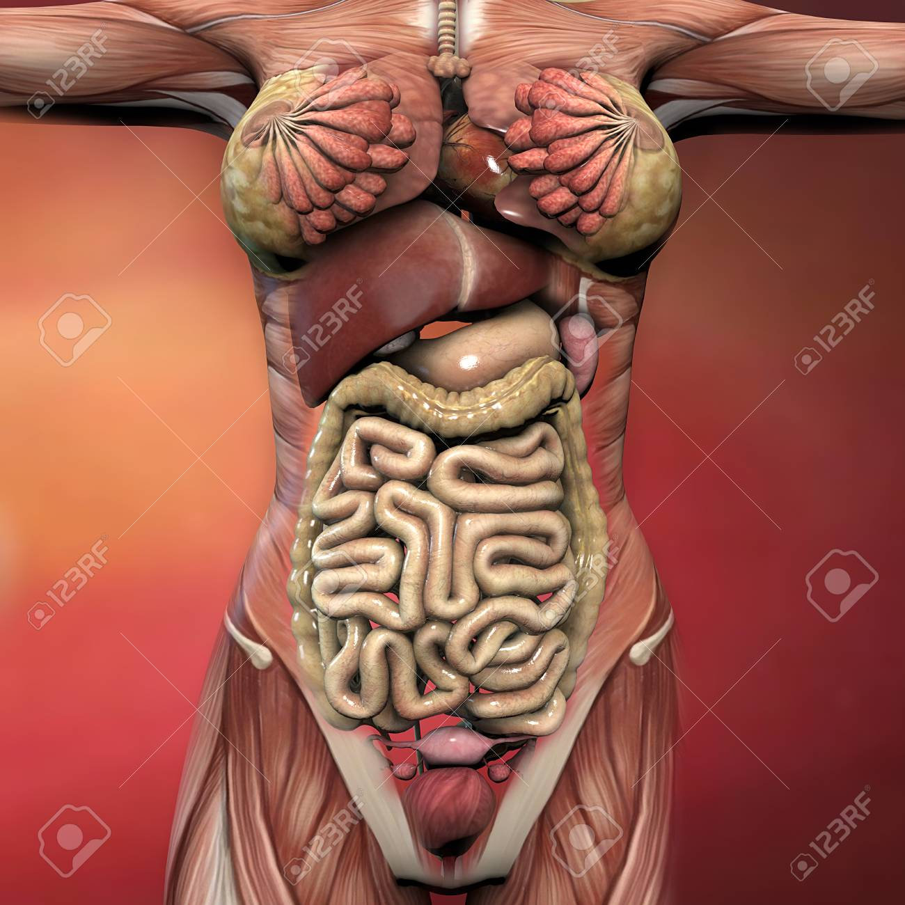 Female Human Body Anatomy Muscles And Organs Stock Photo Picture