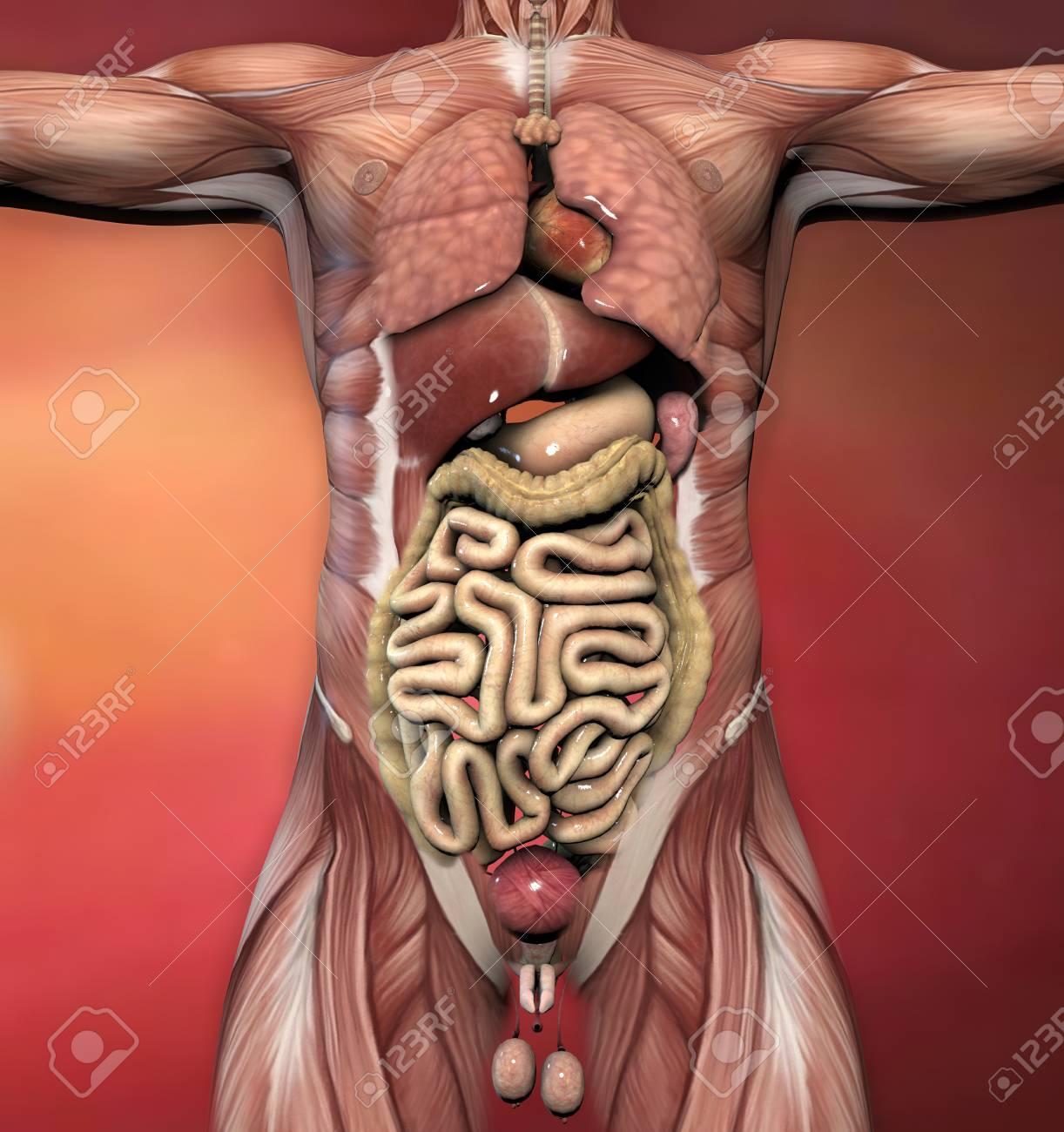 Männliche Anatomie Des Menschen Körper Muskeln Und Organe ...