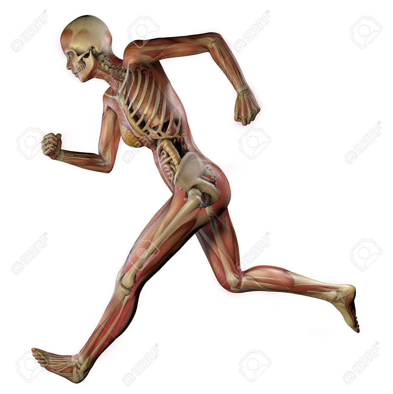 Cuerpo Femenino Con Músculos Esqueléticos Y órganos. Ilustración Del ...