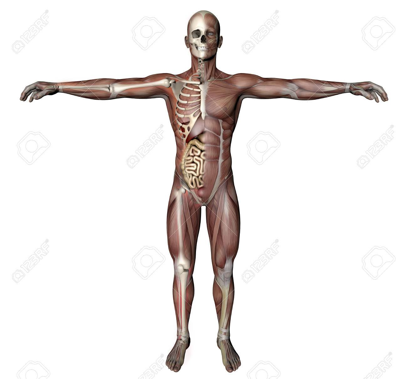 Male Body With Skeletal Muscles And Organs Stock Photo, Picture And ...