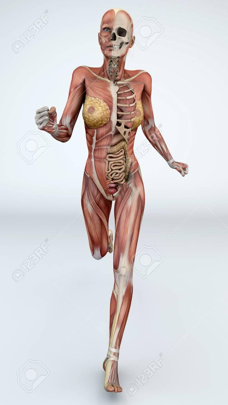Cuerpo Femenino Con Los Músculos Esqueléticos Y órganos. Ilustración ...