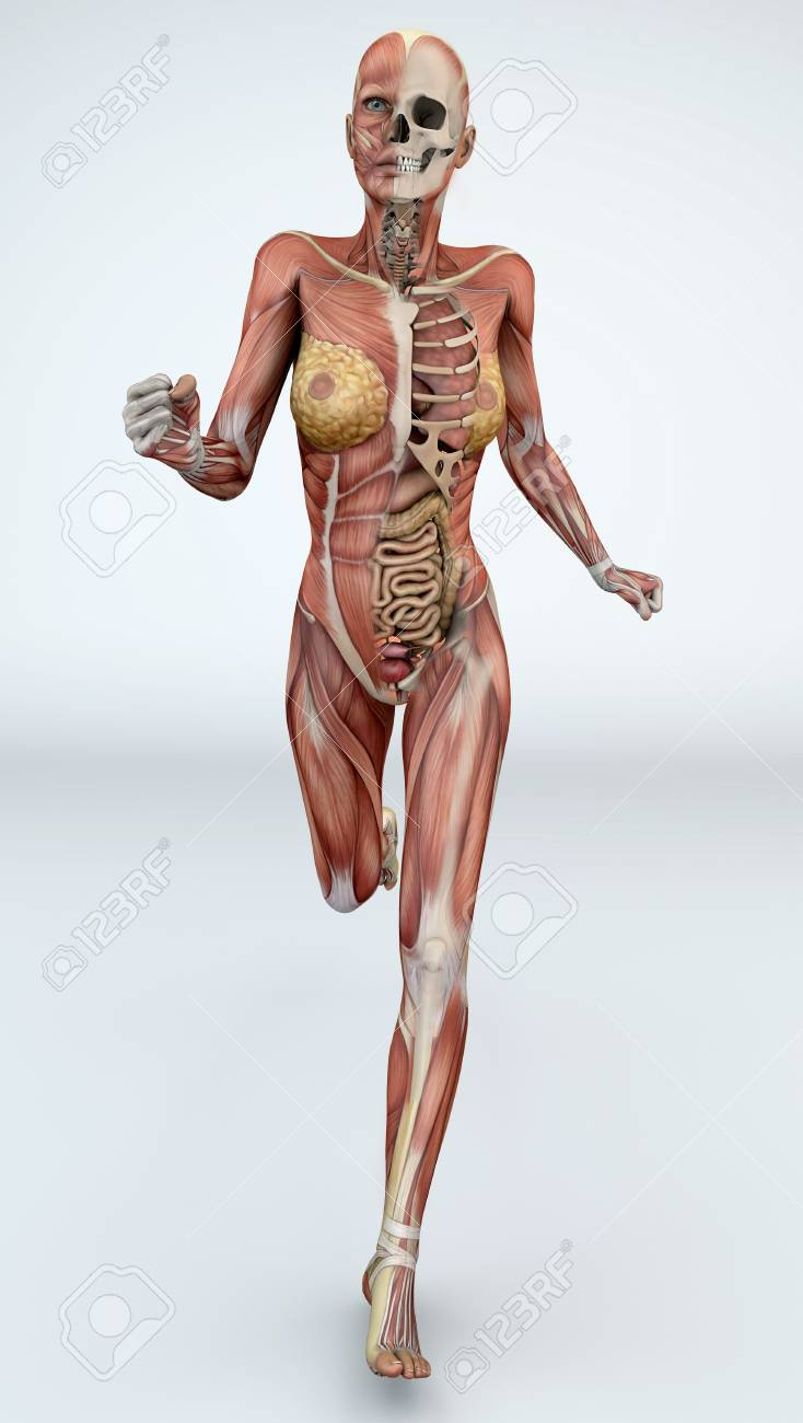Female Body With Skeletal Muscles And Organs. Illustration Of ...
