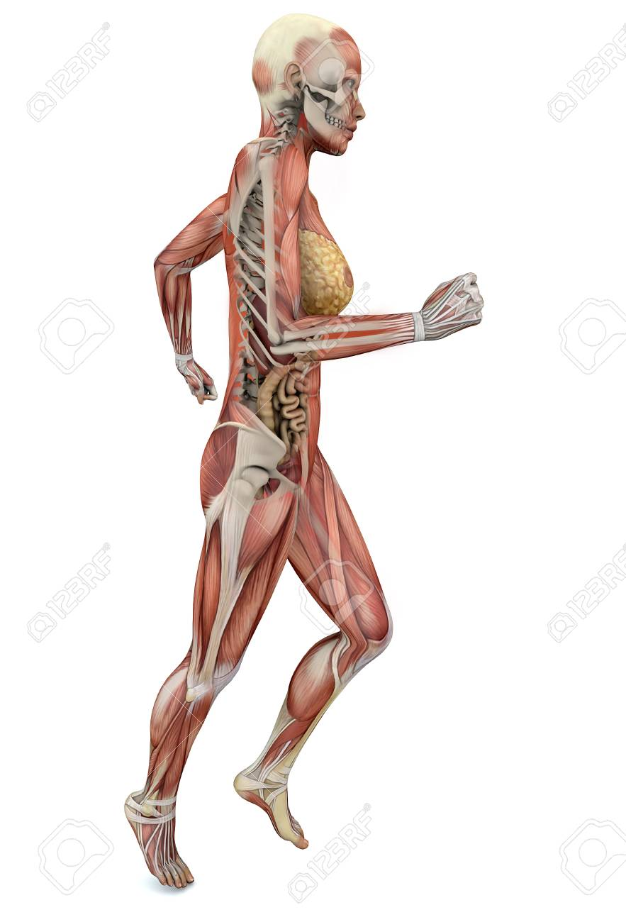 Woman Running, Anatomy Body, Muscles And Skeleton Stock Photo ...