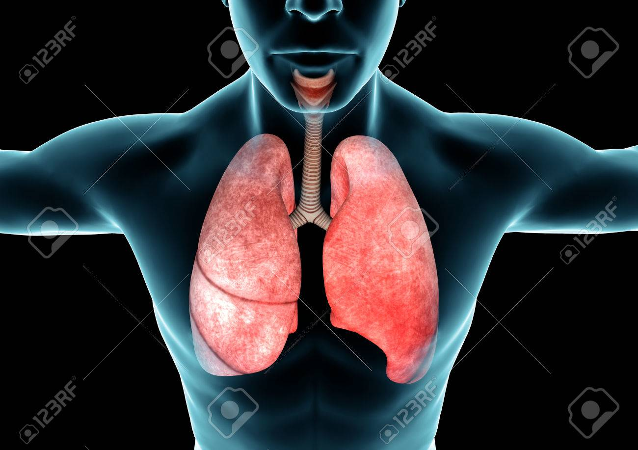 Respiratory System Lungs X Ray Anatomy Of The Human Body Stock