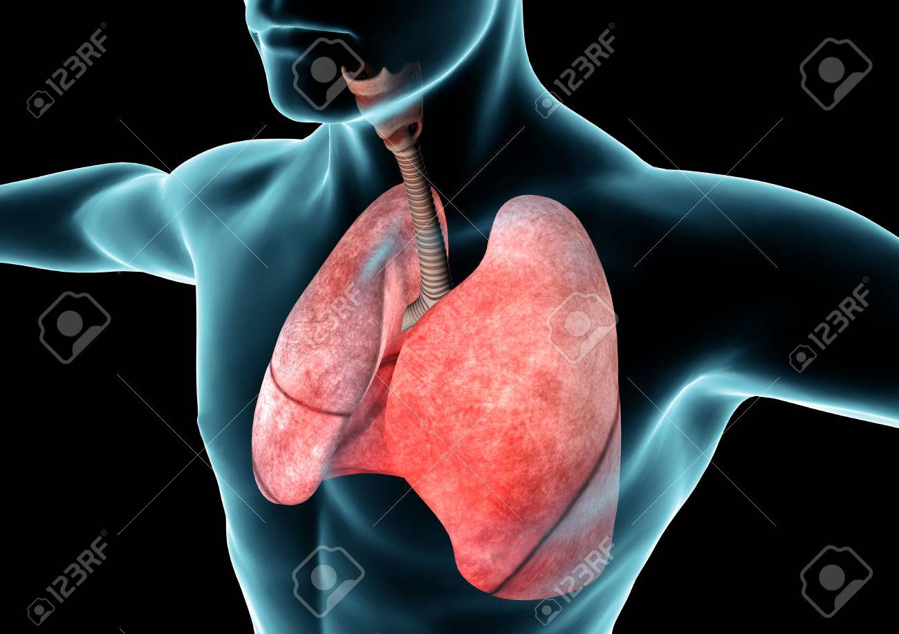 Respiratory System, Lungs, X-ray, Anatomy Of The Human Body Stock ...