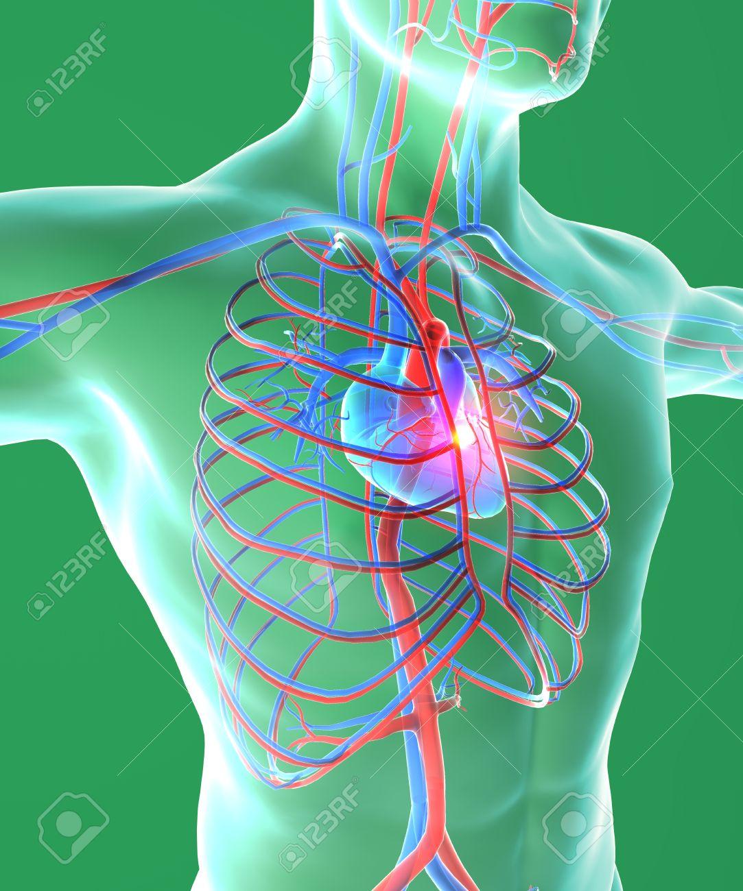 Corazón Y El Pecho, Cirugía, Cuerpo Humano, El Sistema Circulatorio ...