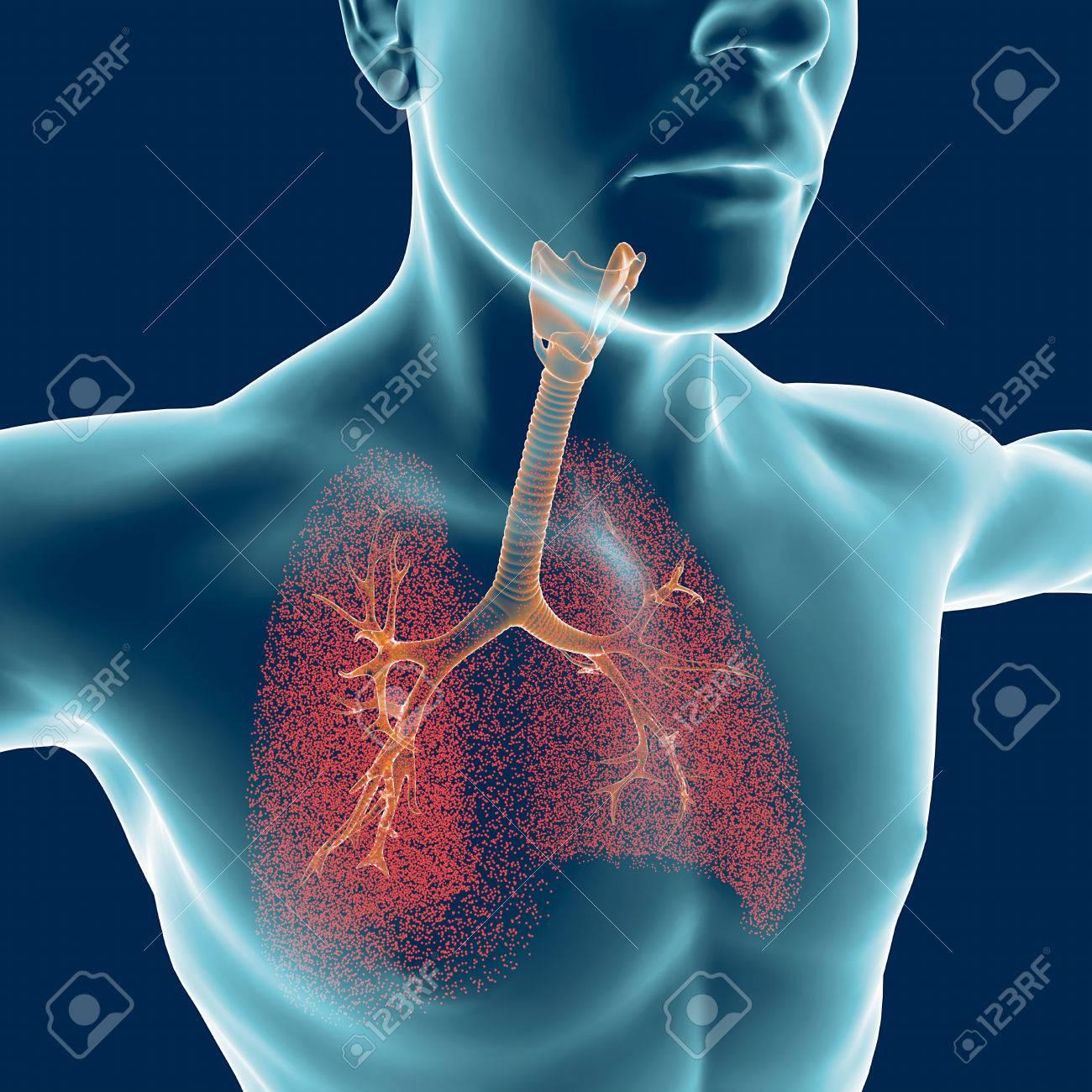 Groß Menschliche Körper Lunge Bild Galerie - Physiologie Von ...