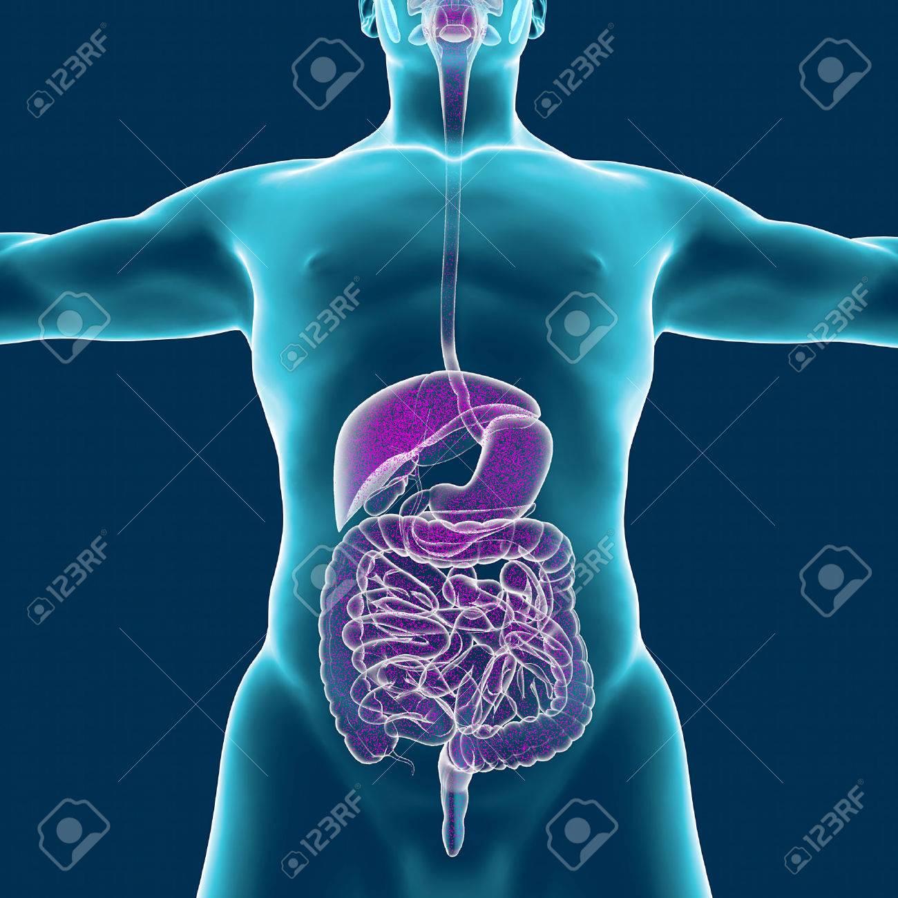 Schön Menschlicher Körper Muskelsystem Zeitgenössisch - Menschliche ...