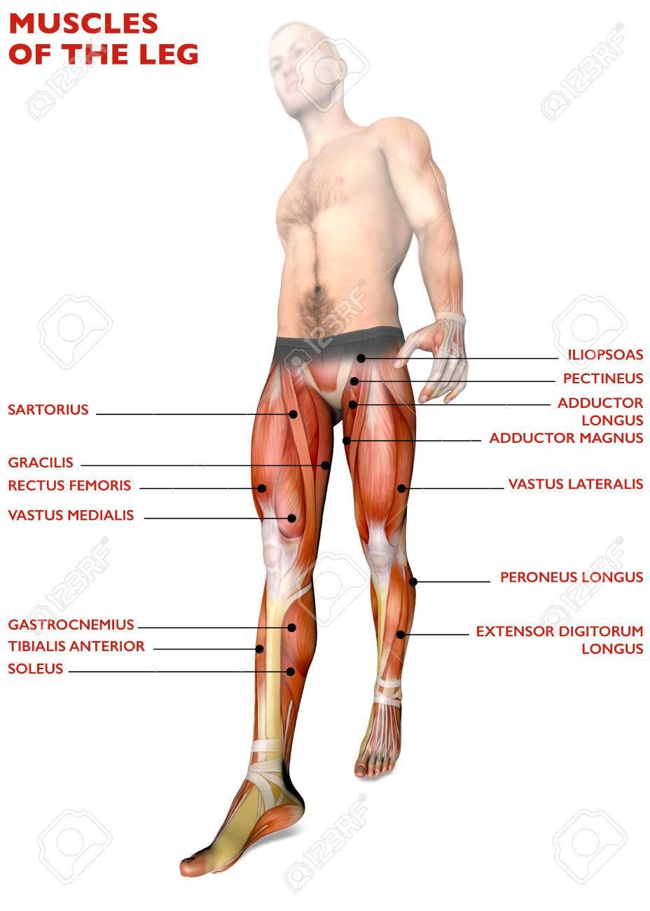 Beinmuskulatur, Menschlicher Körper, Anatomie, Muskelsystem. 3D ...