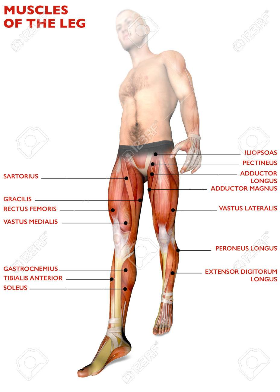 Leg Muscles, Human Body, Anatomy, Muscle System. 3D Rendering Stock ...