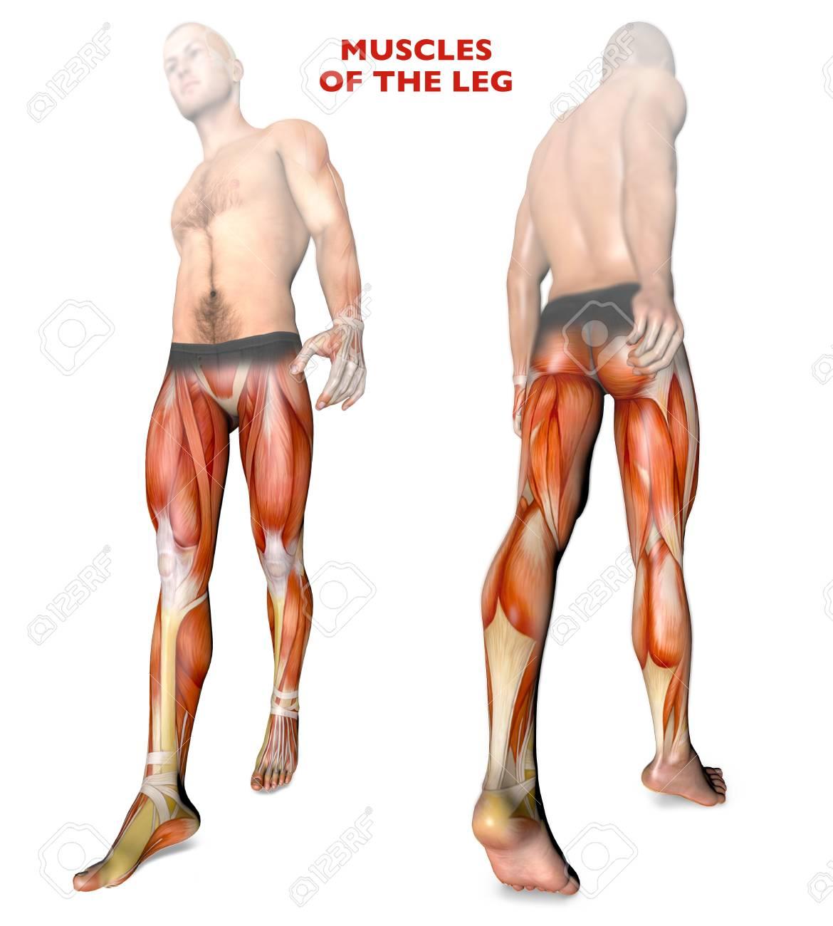 Músculos De Piernas, Cuerpo Humano, Anatomía, Sistema Muscular ...