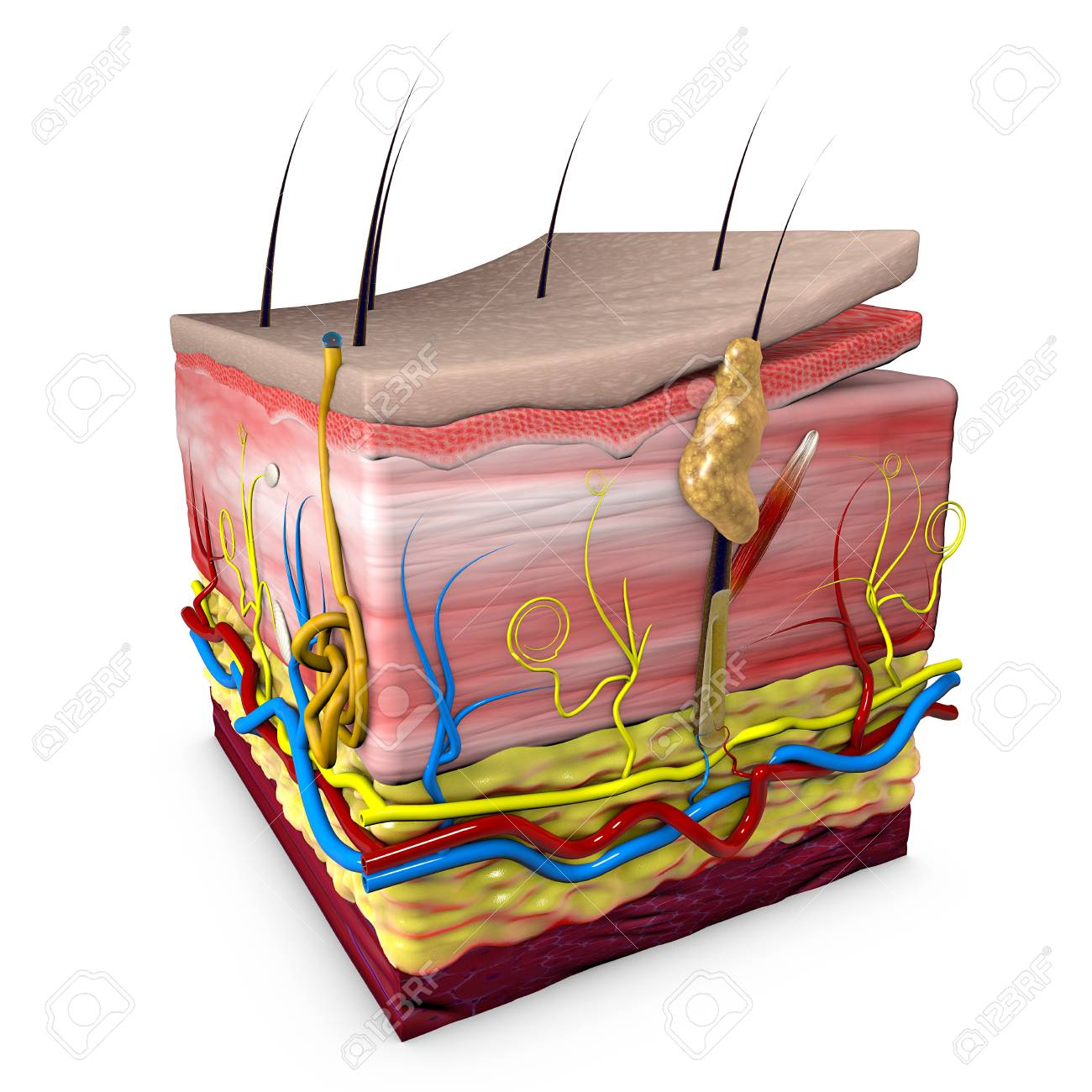Human Body Skin Section Anatomy 3d Section Of Human Skin 3d