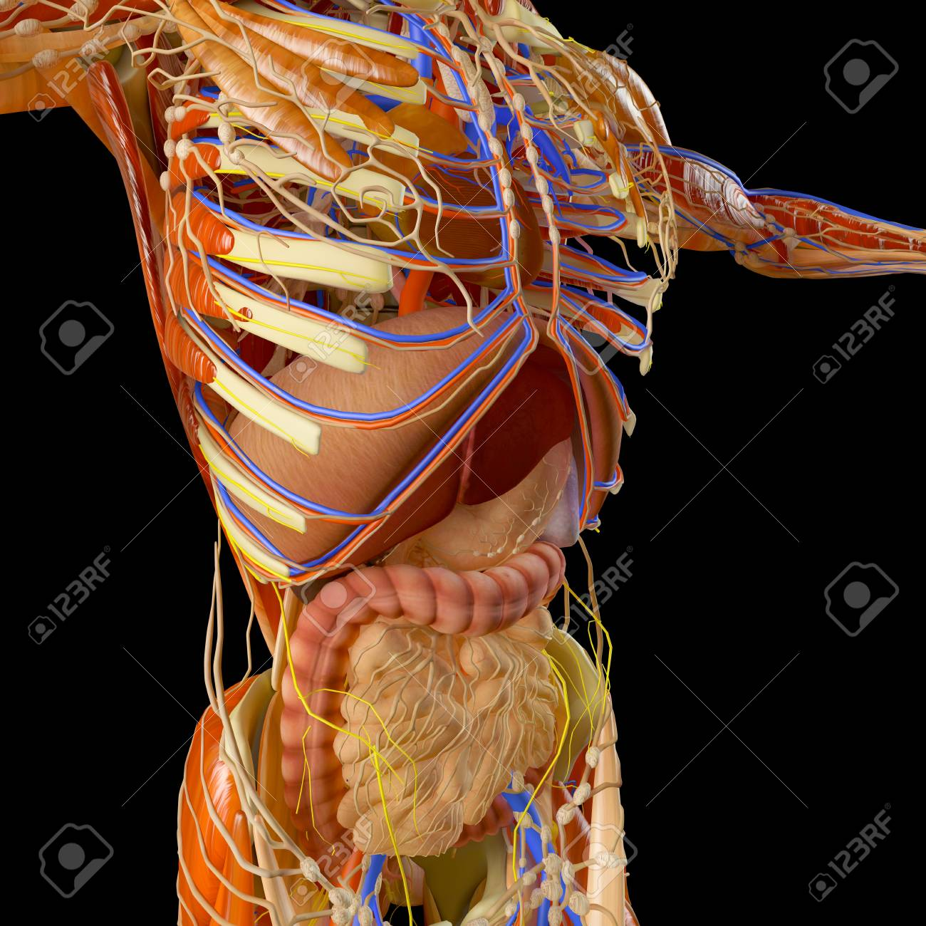 Human Body Muscular System Person Digestive System Anatomy Stock