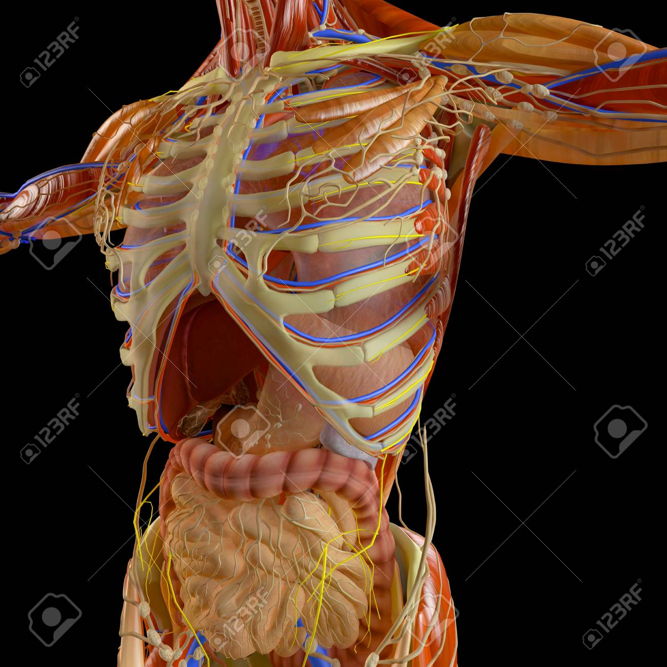 Human Body X Ray View Of The Respiratory Apparatus And Digestive
