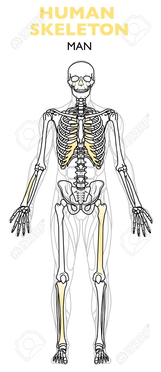 Human Skeleton The Human Skeleton Is The Internal Framework