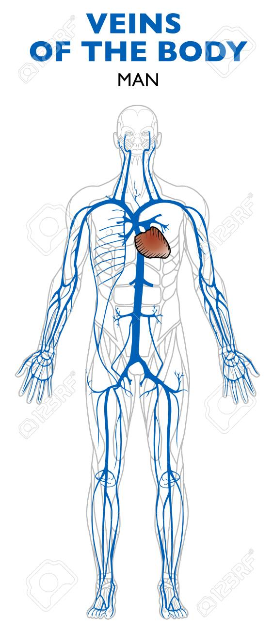 Veins In The Body Anatomy Human Body Veins Are Blood Vessels