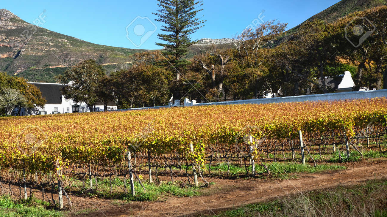 Autumn vineyard at Groot Constantia Wine Estate in Constantia, Cape Town, South Africa. 23 May 2021 - 170958421