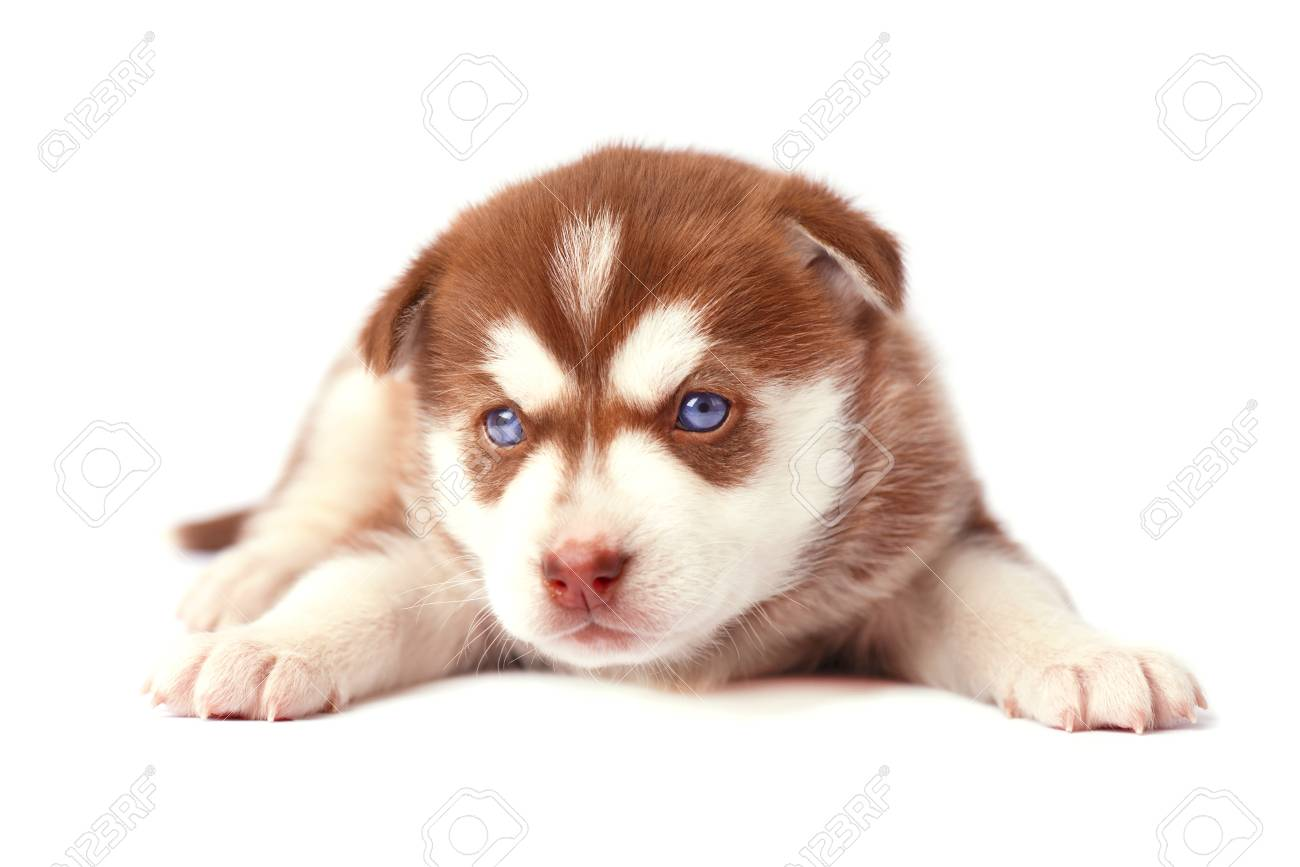 Cute Brown Puppy Siberian Husky Isolated On White Background Stock Photo Picture And Royalty Free Image Image 70777160